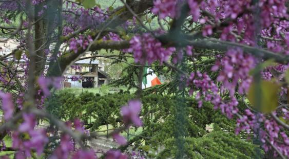 In primo piano albero fiorito, sullo sfondo rovine causate dal sisma e bandiera d'Italia